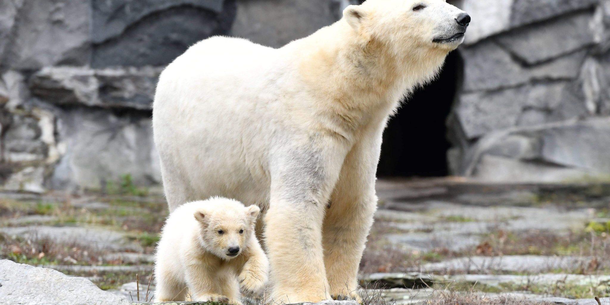 Eisbar Nachwuchs Bei Dem Ersten Offentlichen Auftritt Im Zoo